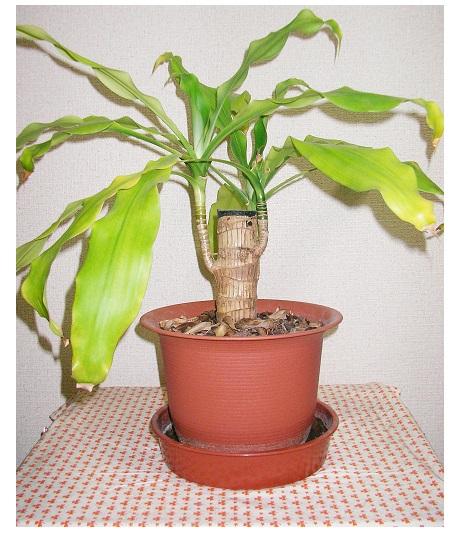 2年半ほどハイドロボールを使用し水のみで育てた幸福の木のイメージ